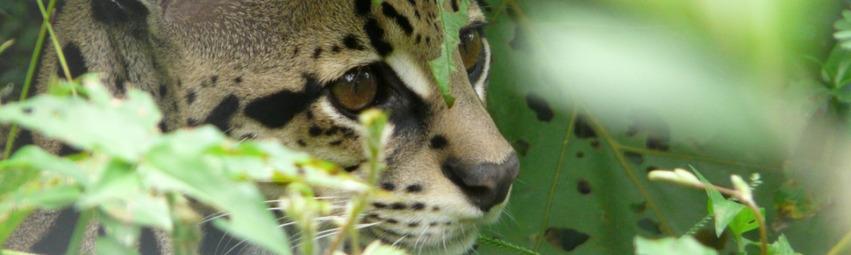 Panama Reisen | Puma, Boquete