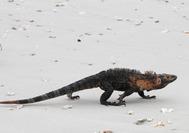 Panama Rundreise |  Leguan am Strand der Isla Iguana