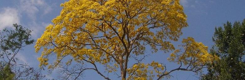 Guayacan-Tree-1-781x526.jpg