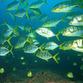 Panama Reisen | Glitzernde Fische