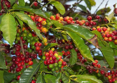 Panama Reisen | Kaffepflanze in Boquete