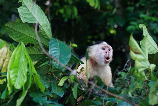 Panama Rundreise | Kapuzineraffe im Regenwald von Gamboa